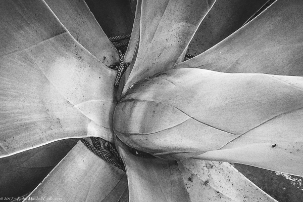 Black and White Agave