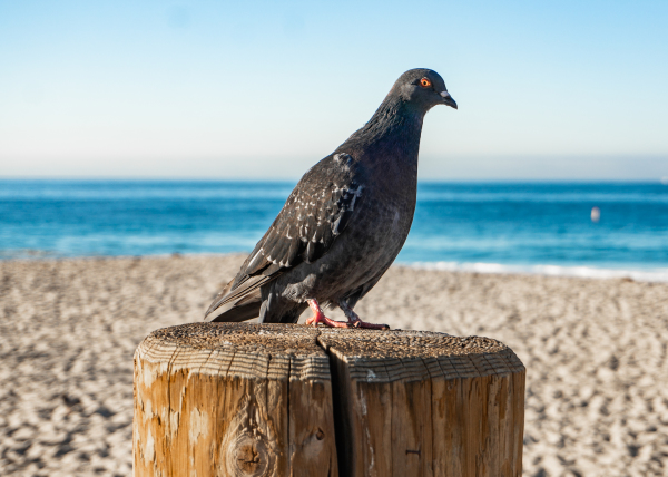 Solitary Pigeon