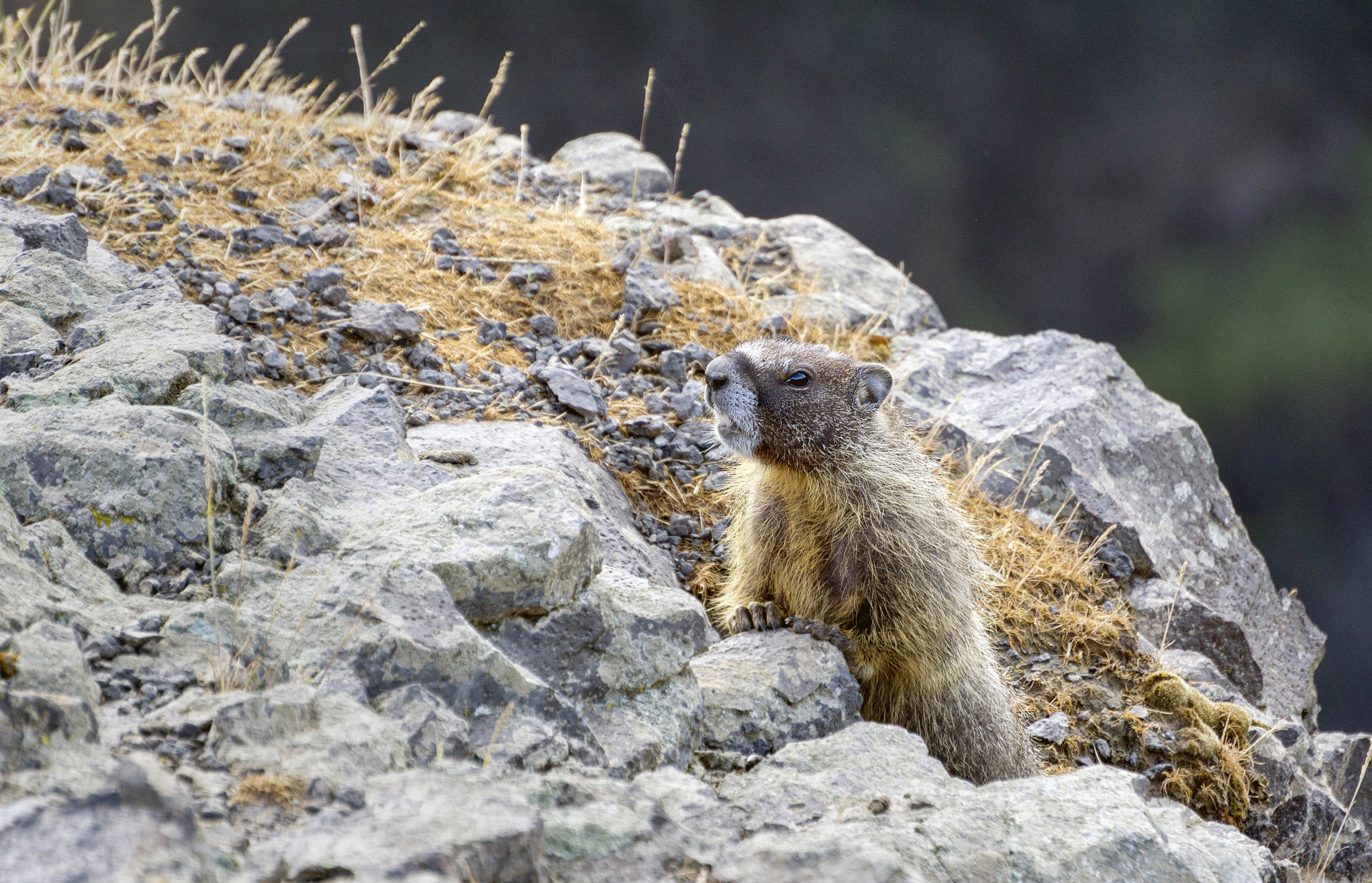red bellied marmot climbing on rocks inside the park