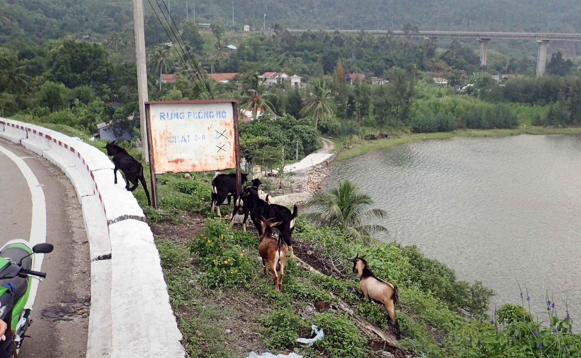 goats along the highway overlooking a beautiful lake