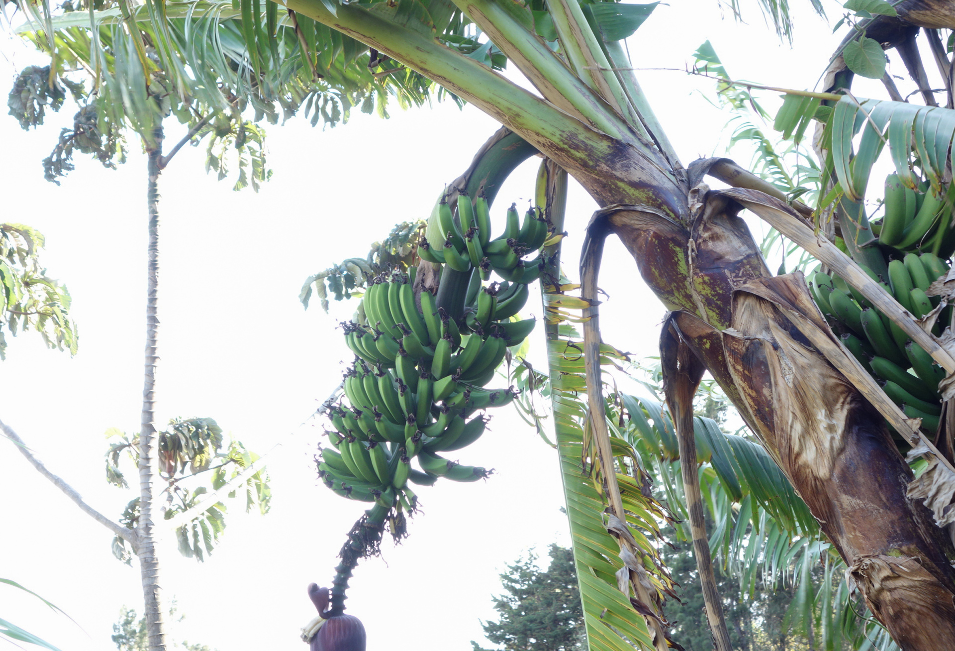 banana tree showing the fruit before being ripe on the tour