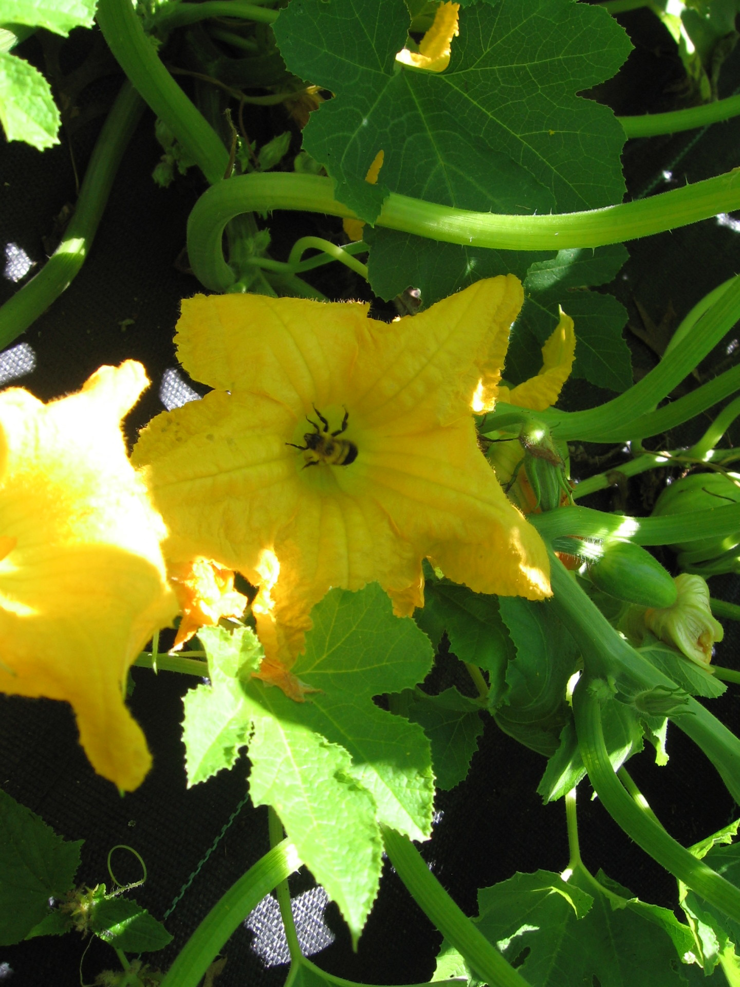 Squash Flower with Bumble Bee