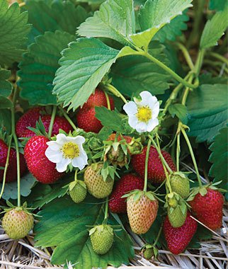 Strawberry Elan