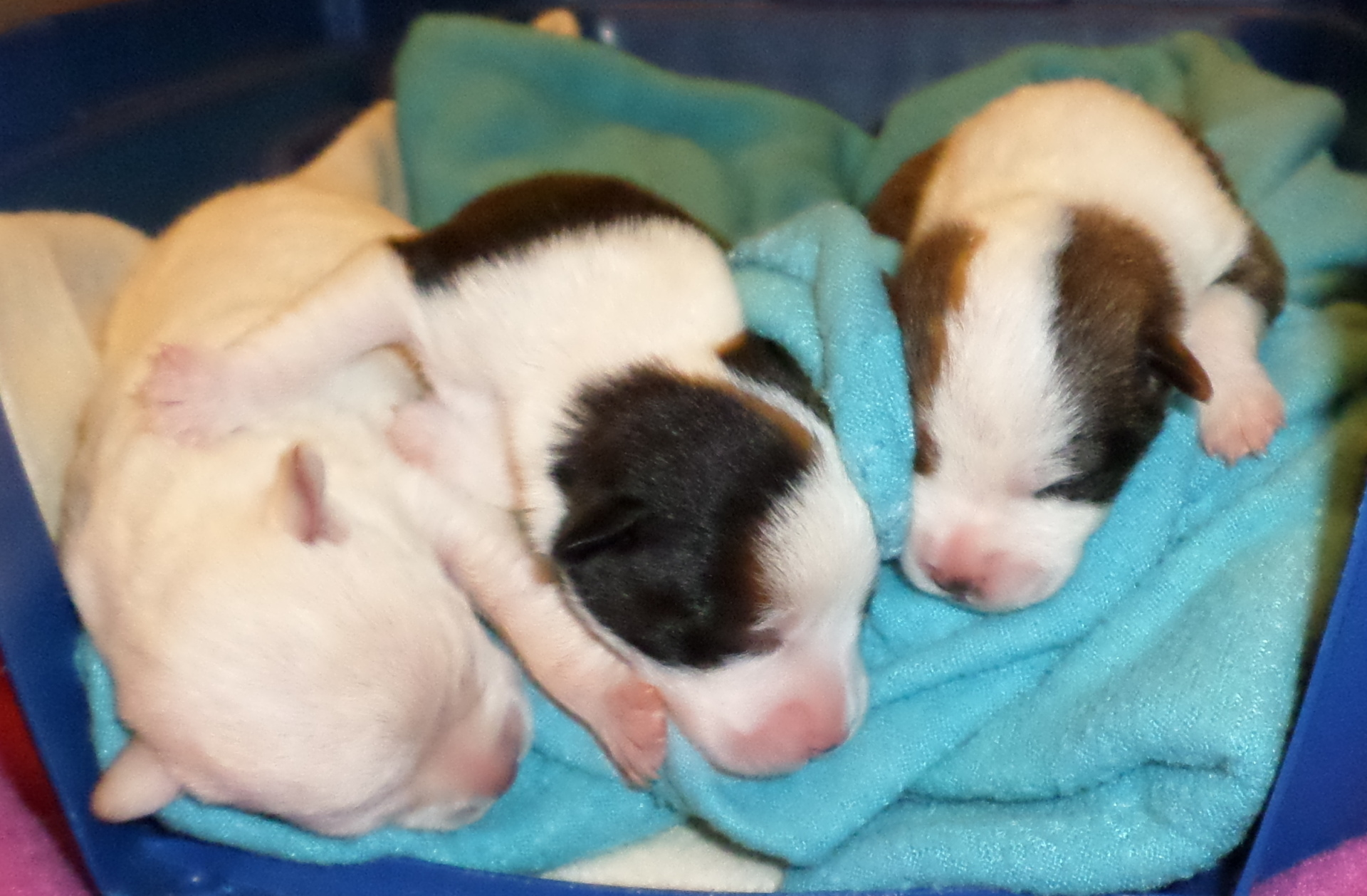 Annie Angus and Angel orphaned chihuahua puppies rescue story