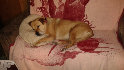 Val yellow lab senior dog rescue story