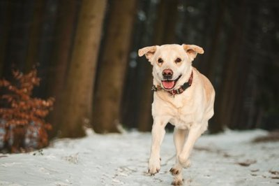 old dog sprinting in snow without pain
