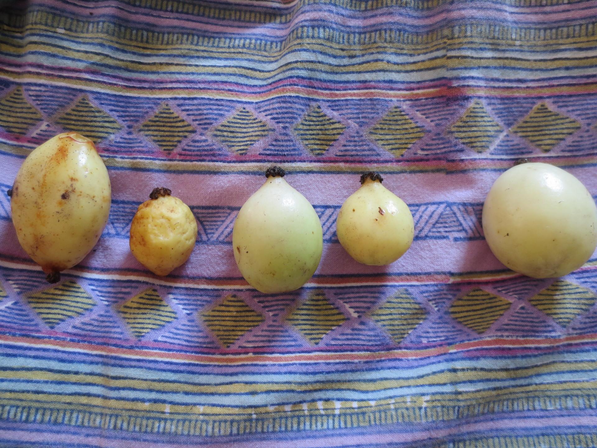 May apple harvest