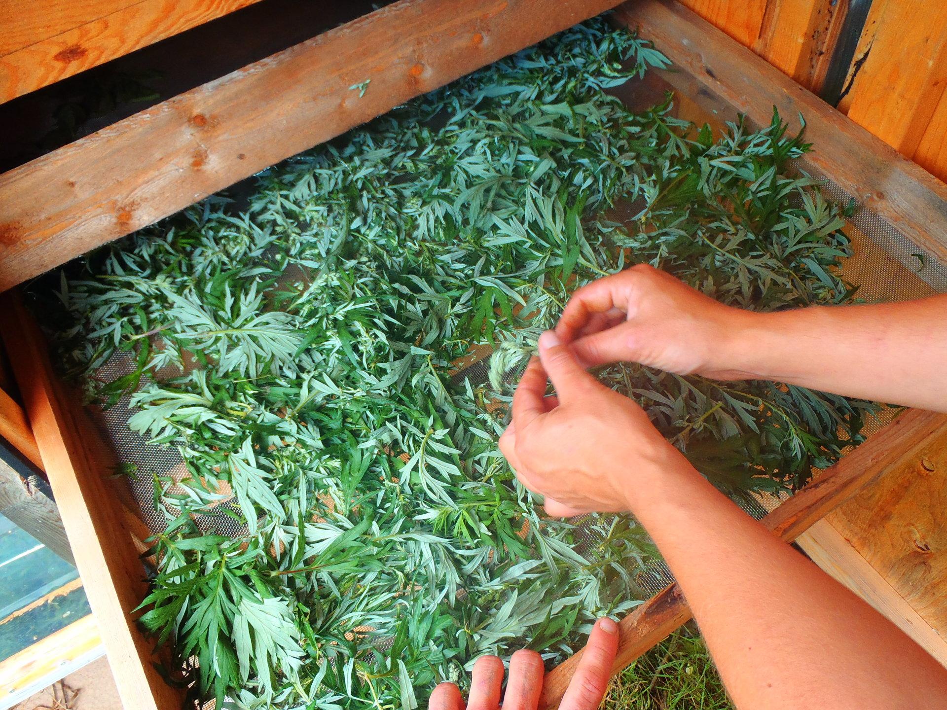 Mugwort harvest