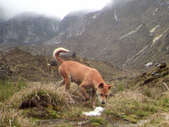 New Guinea Highland Wild Dog Rediscovered