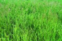 Brome Grass