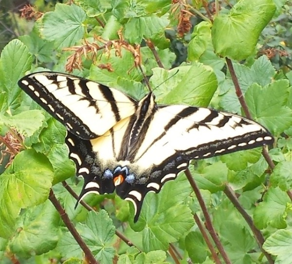 Swallowtail on Ribes