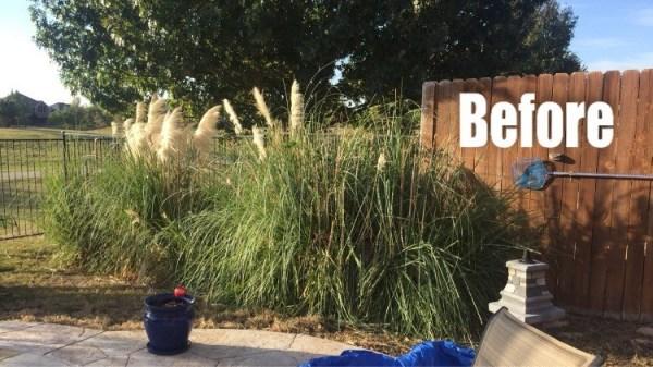 Before Pampas Grass