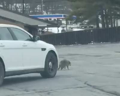 Officers who ran over raccoon will not face charges