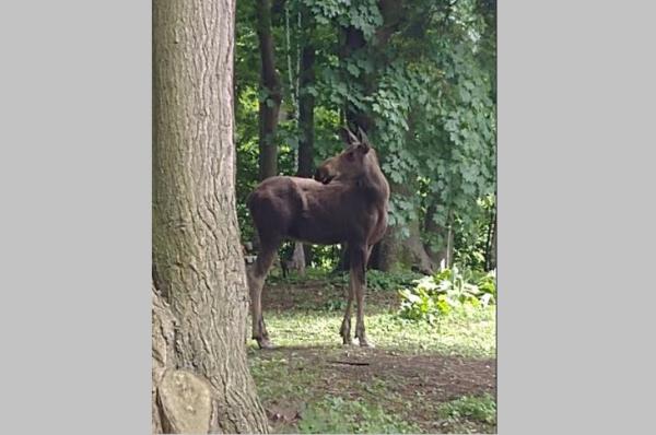 Moose Found Roaming City of Gloversville