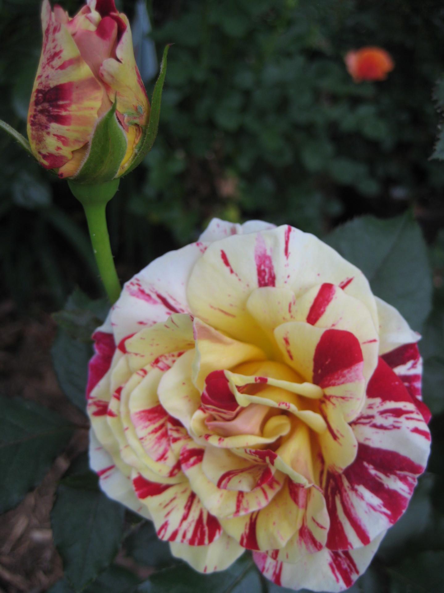 George Burns Fragrant Rose