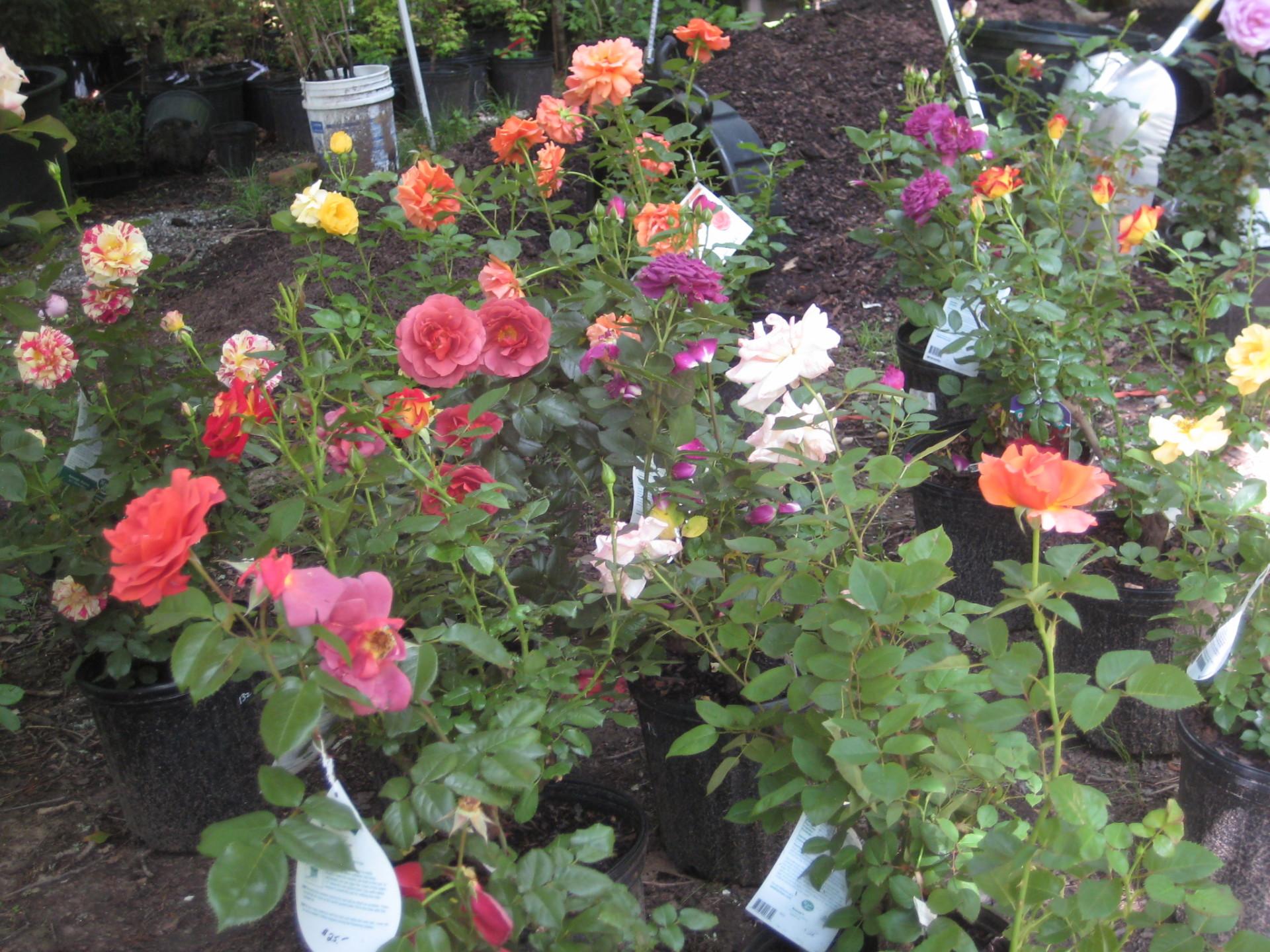 Various Rose Cultivars