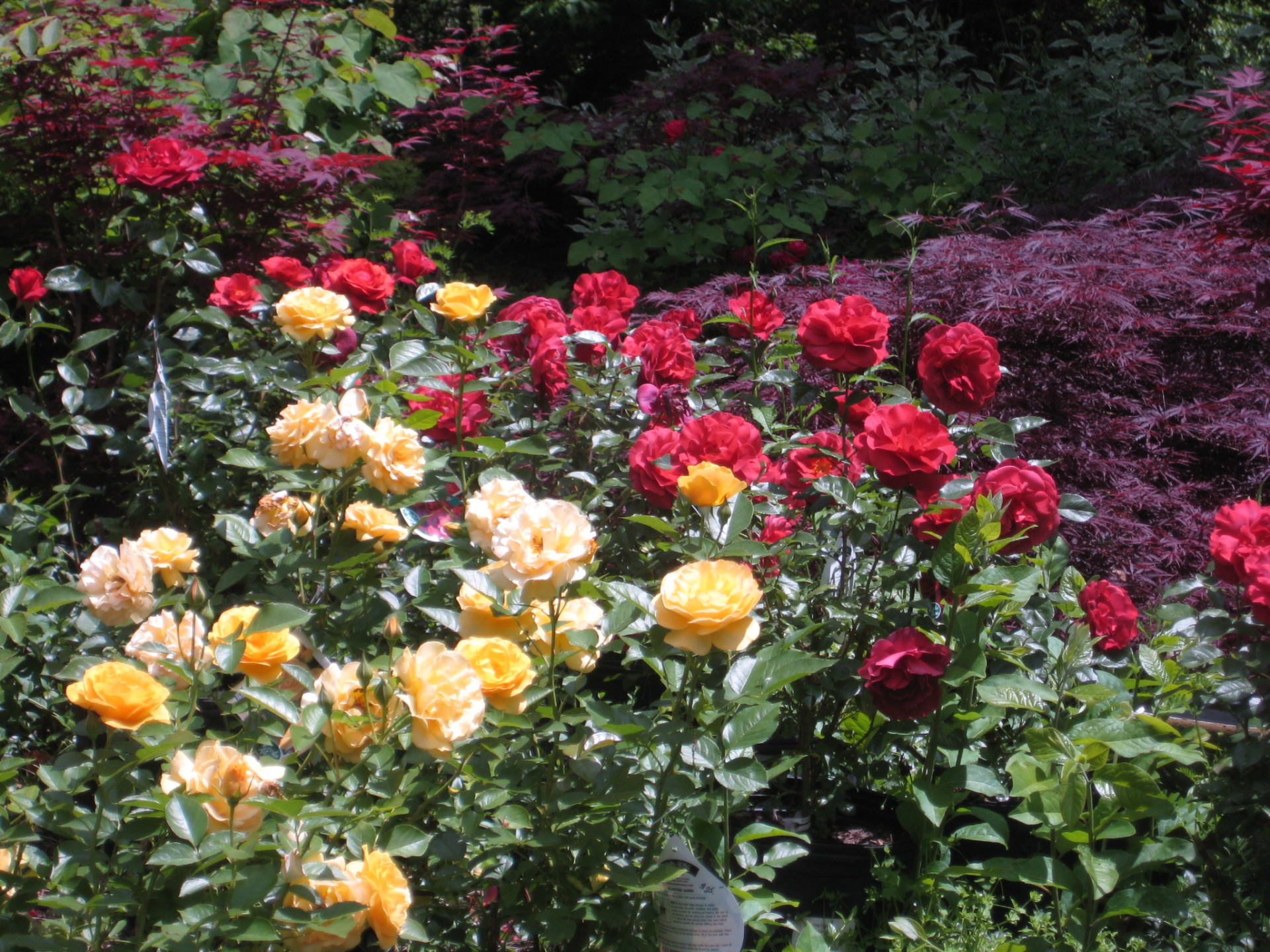 Rose and maple Mix