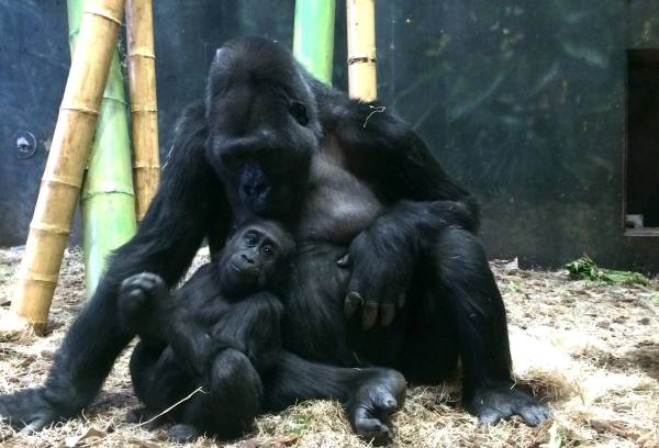 Ape momma and her baby at Lincoln Park Zoo