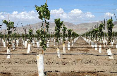 Watering a vineyard
