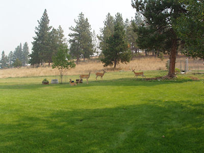Automatic sprinklers provided a lush lawn for this herd of deer to enjoy