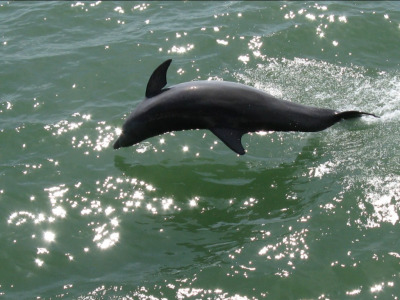 Dolphins frolic in the waters off the Sundial beach.