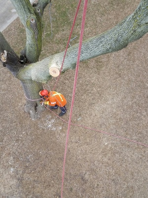 Removing tree with ropes