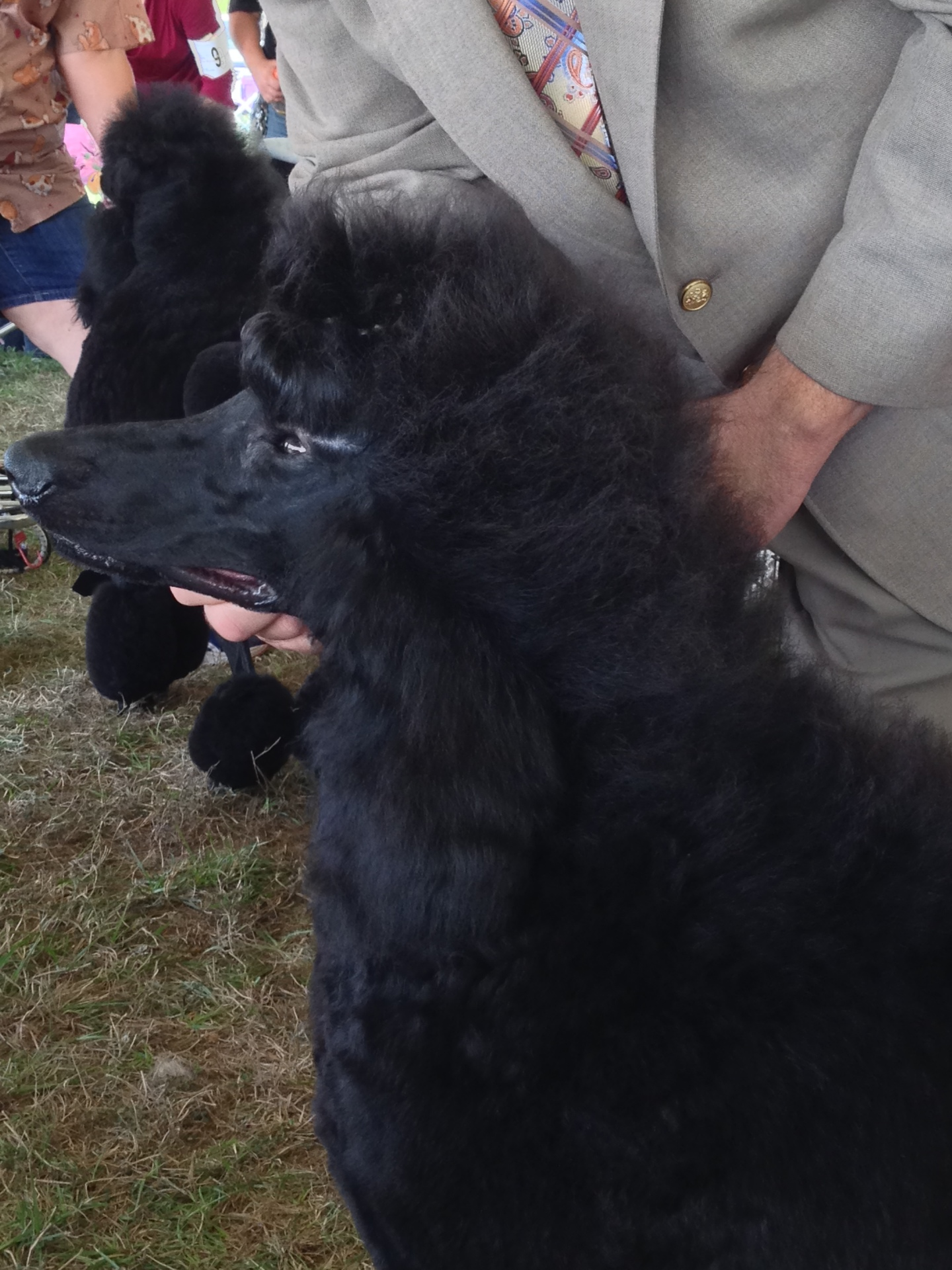Titusville Show Dog Poodles