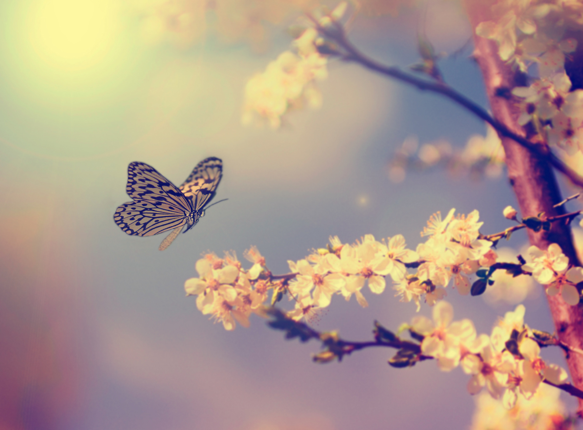 butterfly approaching cherry blossoms