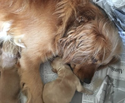 Mini Golden Puppy with Mom