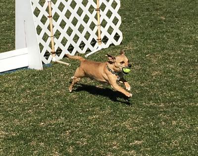 Nigel - Chihuahua