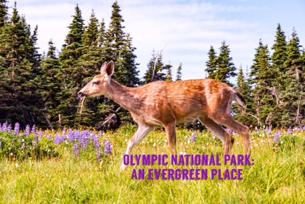 Olympic National Park: An Evergreen Place