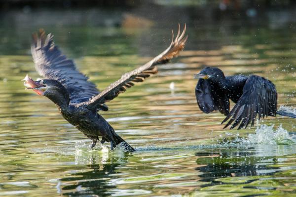 Food fight, Neotropic Cormorants