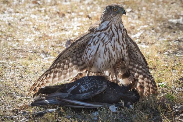 Cooper's Hawk on fresh kill