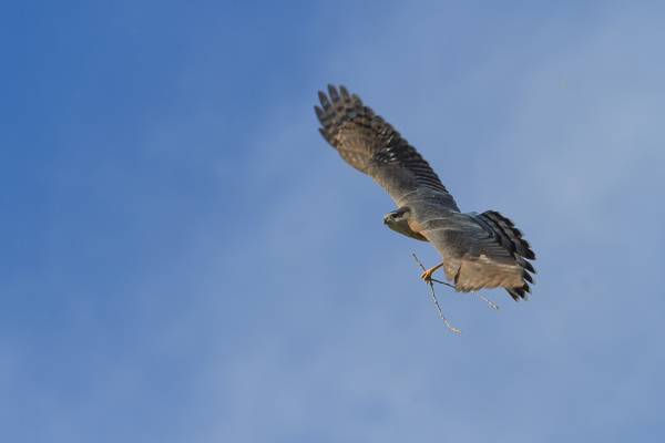 Cooper's Hawk with nesting material