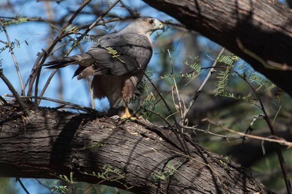 Cooper's Hawk with kill