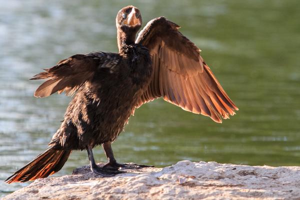 One-winged Cormorant