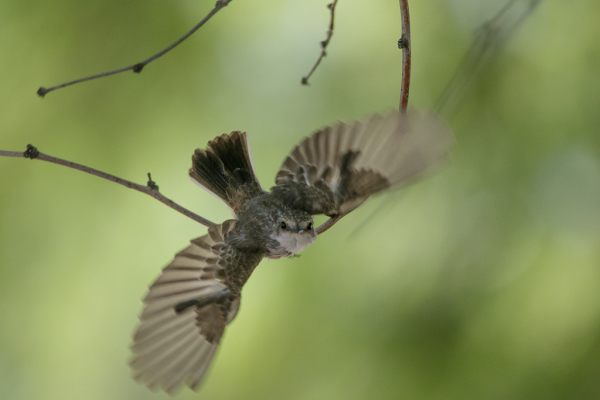 Vermilion Flycatcher, female