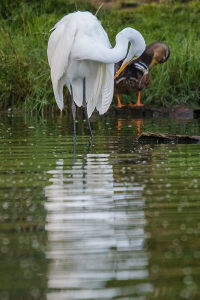 Great Heron and duck grooming