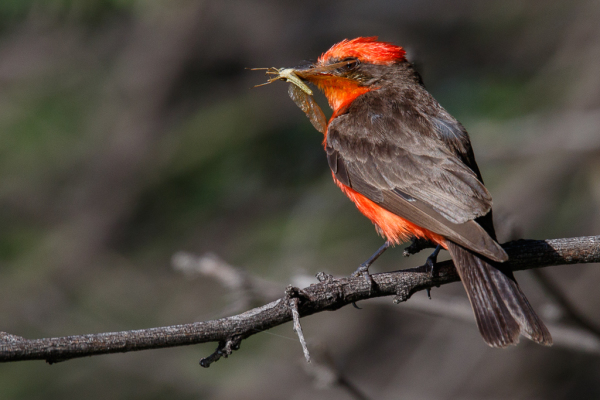 Vermilion Flycatcher with dragonfly