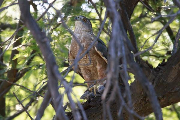 Cooper's Hawk with baby dove