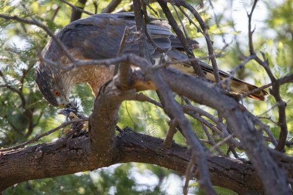 Cooper's Hawk with dove