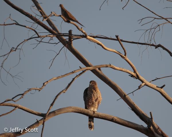 Cooper's Hawk  and dove