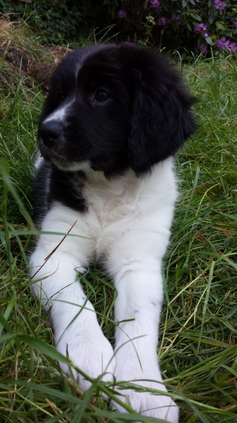 Maisie our puppy