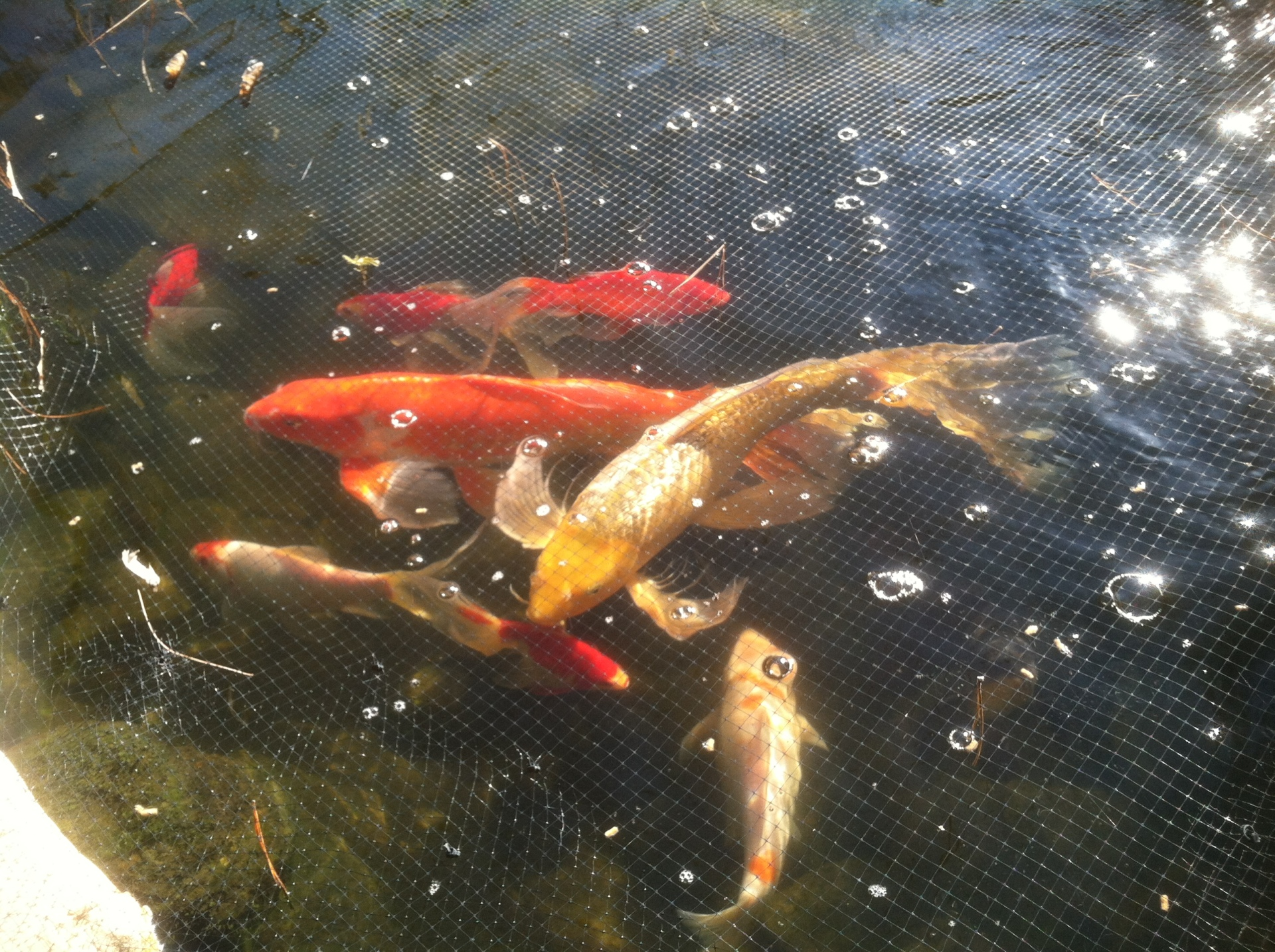 Koi & Gold Fish in the pond