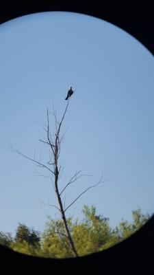 Bird Watching in Argyle near Bartonville