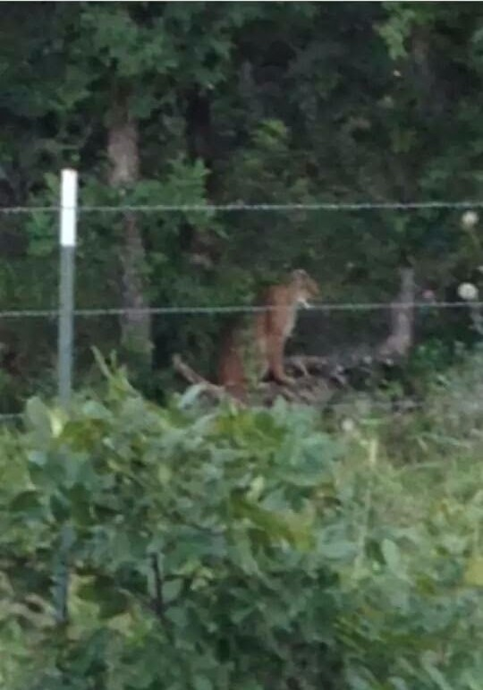Large Cat in Argyle/Bartonville area
