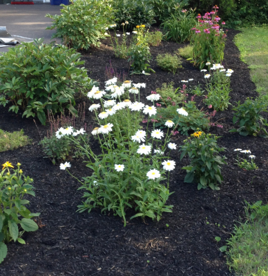 Maintenance: Transplanting self-seeding perennials to spread color through the garden.