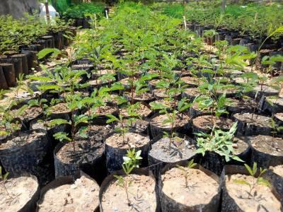 Leucaena baby plant