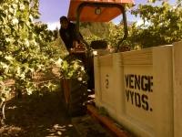 Venge Vineyards harvest