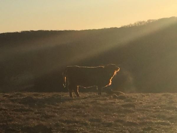Sunrise over a new calf